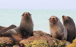 montague island seals