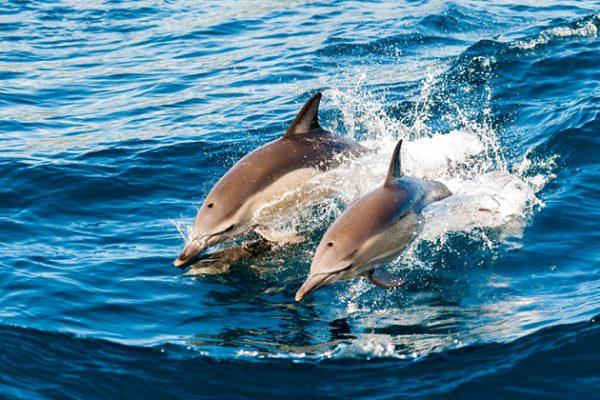 Dolphins Montague Island Tour