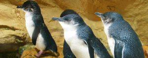 Montague Island Penguin Tour