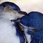 Montague Island Penguins
