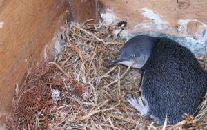 Montague Island baby Penguin