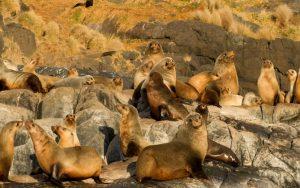 Montague-Island-seals-sunbathing