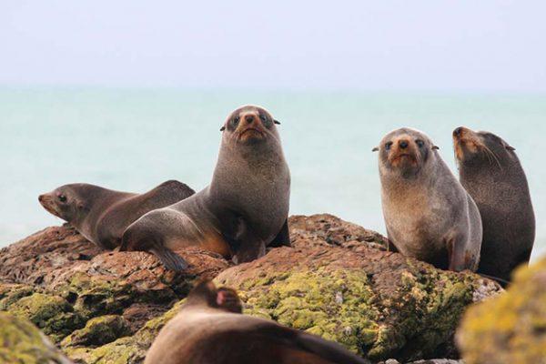Seals Montague Island Narooma
