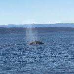 whale diving